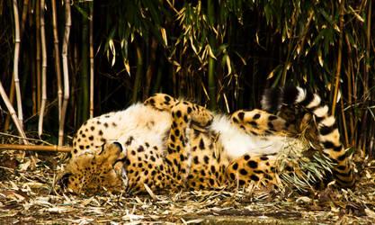 cheetah546