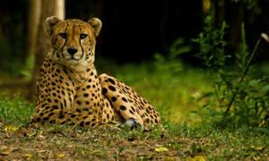 cheetah554