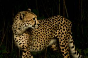 cheetah555 by redbeard31