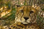 cheetah567