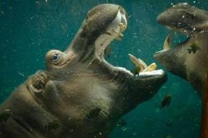 hippo11 by redbeard31