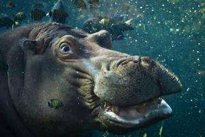 hippo12 by redbeard31