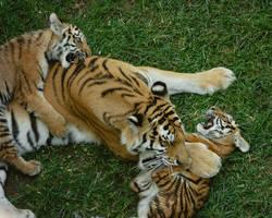 tiger562 by redbeard31