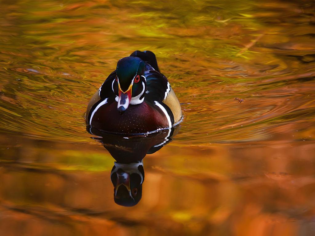 duck141 by redbeard31