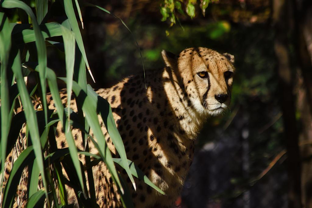cheetah621 by redbeard31