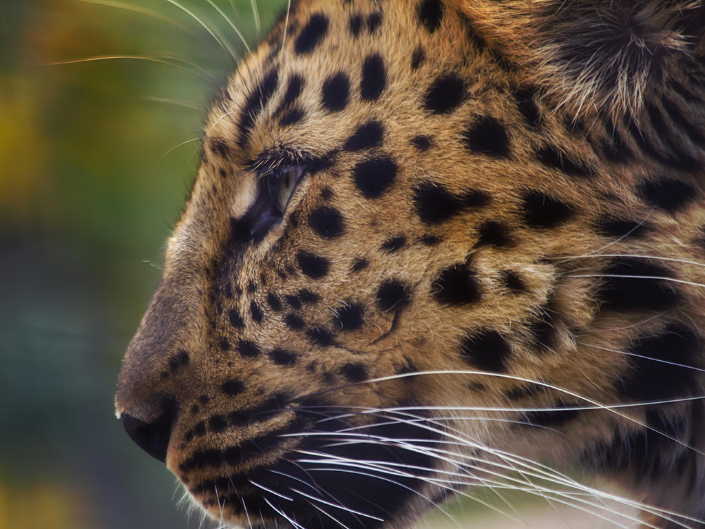 leopard457 by redbeard31