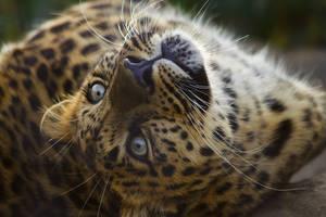 leopard466 by redbeard31