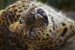 leopard466