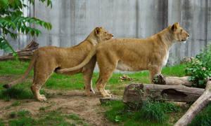 lion538