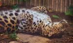 leopard533