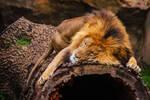 lion596