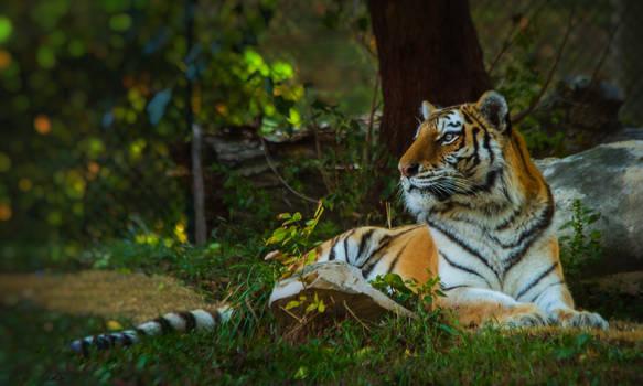 tiger615