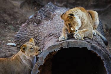 lion633