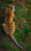 tiger617