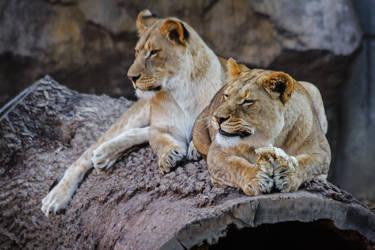 lion638