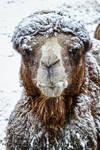 camel38
