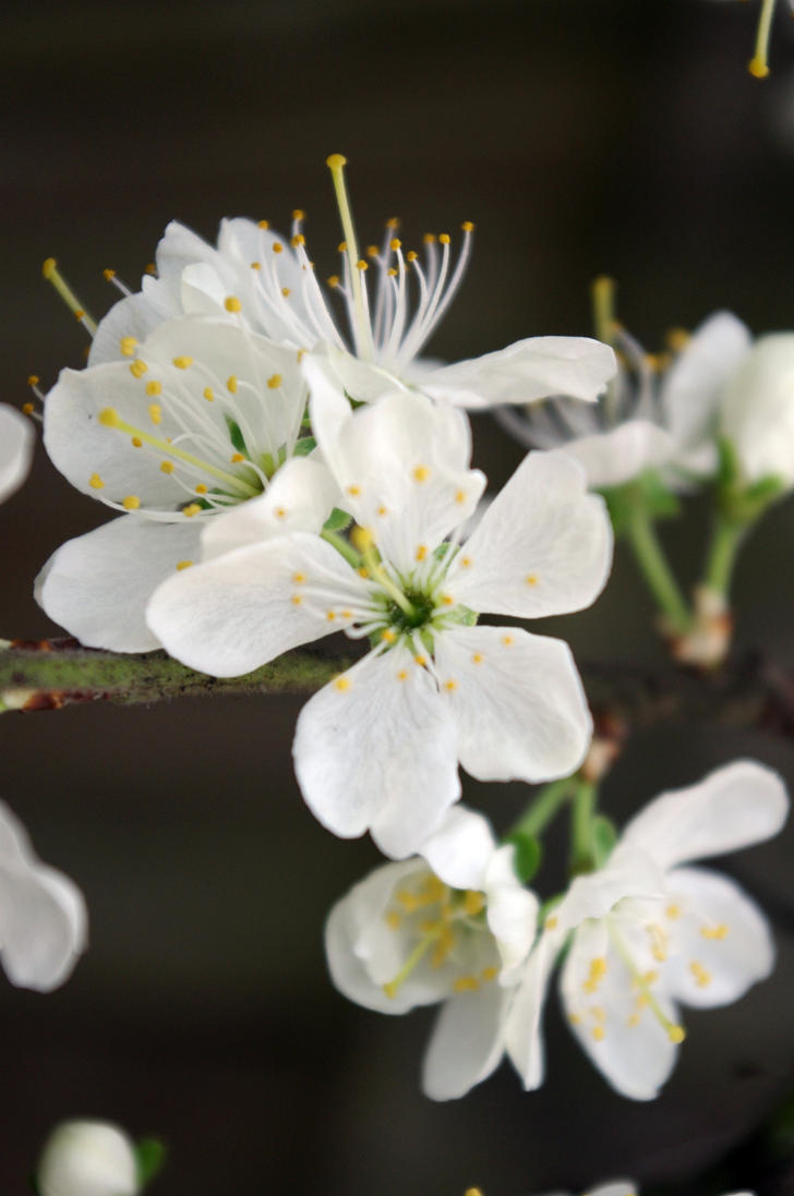 Blossoms IIIIII by LucyLostInWonderland