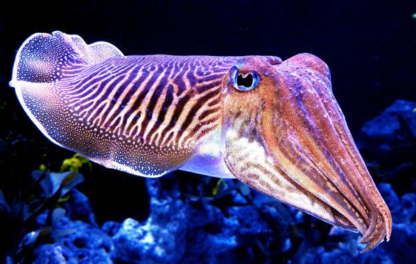 Cuddly Cuttlefish by zhe-universe