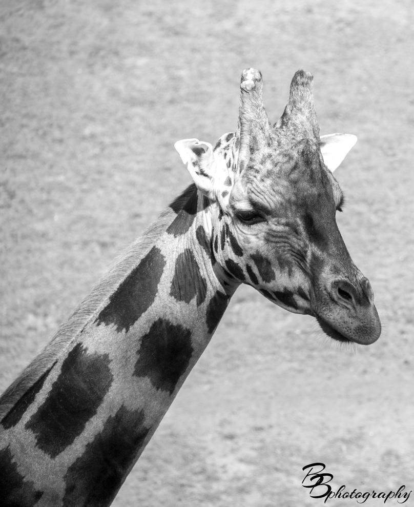 Giraffe by Alaersu-Aetris