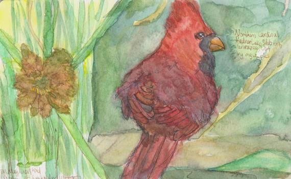 Northern Cardinal and Sonoran Desert rush