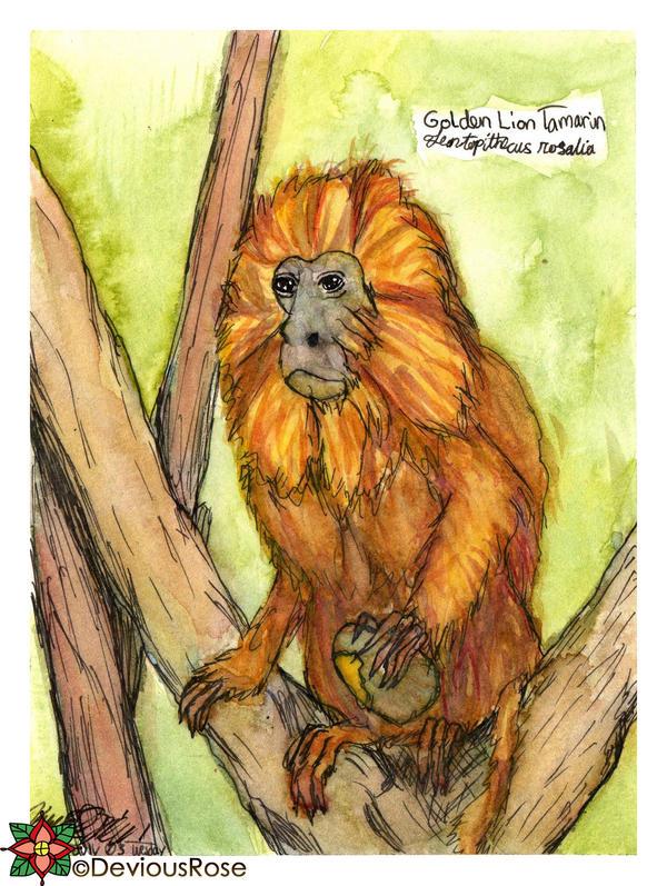 Golden Lion Tamarin - Golden Marmoset