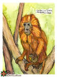 Golden Lion Tamarin - Golden Marmoset