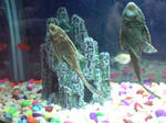 Freshwater Cleaner Fish