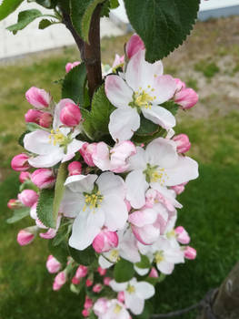 Cute Apple Tree - 1