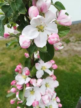 Cute Apple Tree - 2