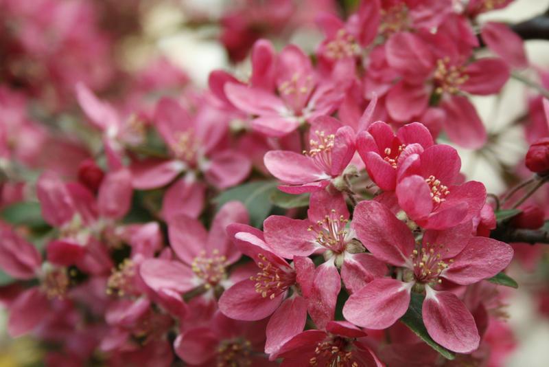aand more cherries blossom! by jirafko