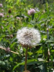 dandelion seeds by psychotic-naruto-fan