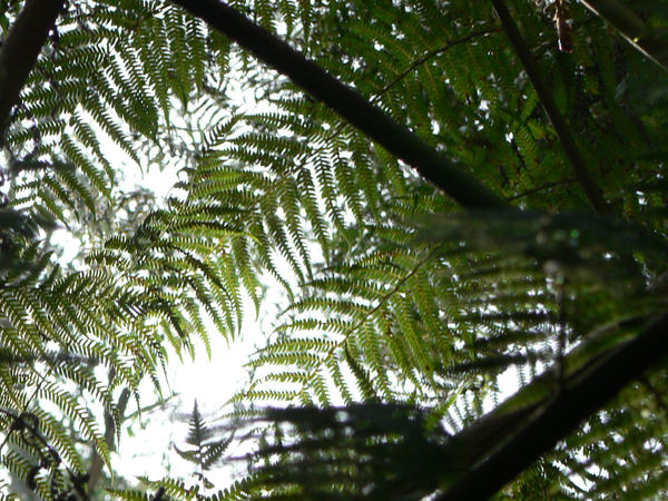 overhead fern1 by CircuitDruid-stock