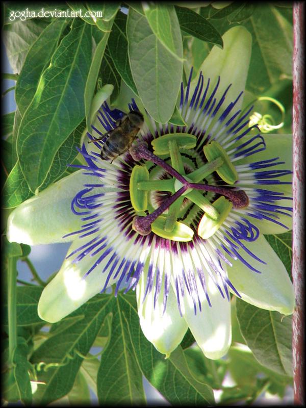 Passiflora by Gogha