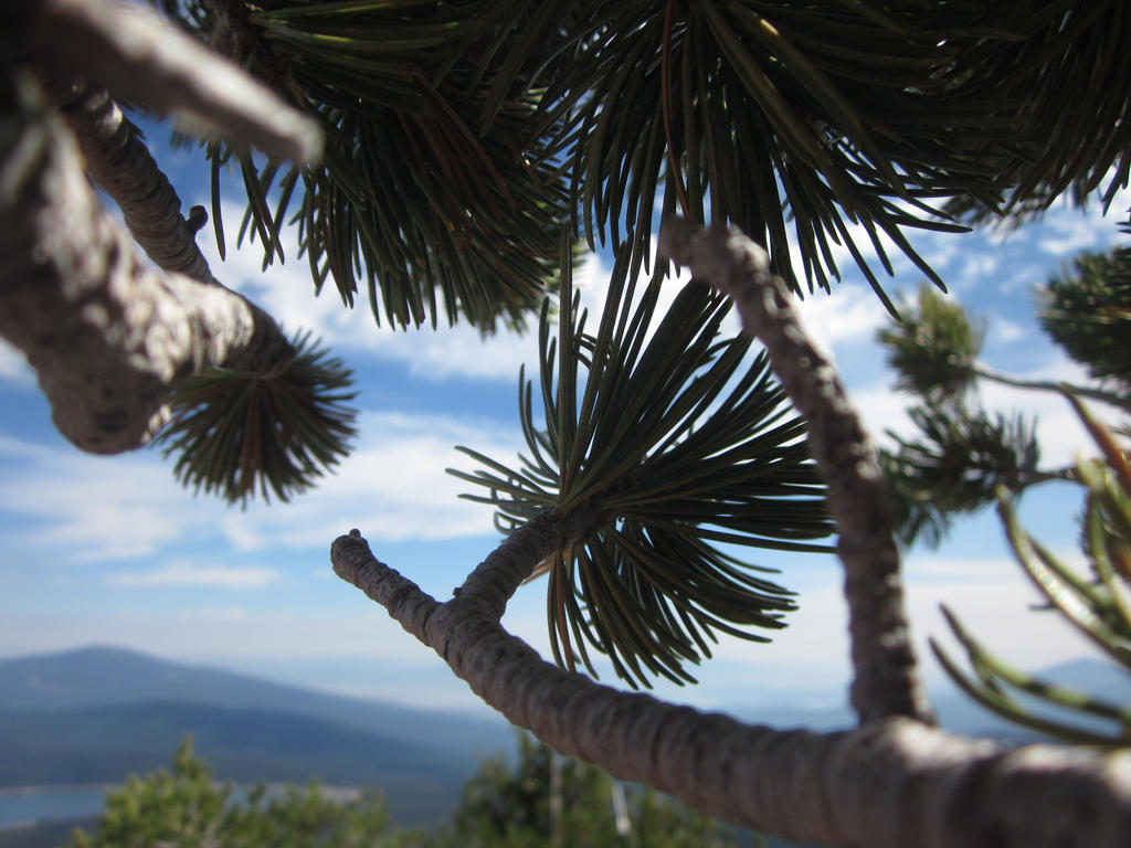 Mountain Pine by B4Risingdawn