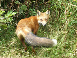 Fox by beyonce03