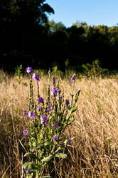 Splash of Lavender