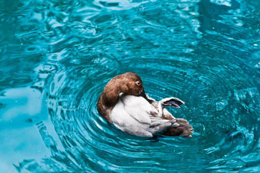 Duck Grooming