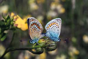 Common Blue's by Tobias-Kaos