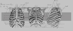 Ribs Anatomy
