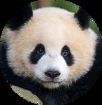 Giant Panda by AnniverseStash