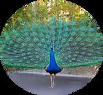 Green Peacock by AnniverseStash
