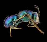 Augochloropsis Anonyma Bee by AnniverseStash