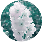 White Delphinium by AnniverseStash