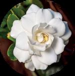 Gardenia by AnniverseStash