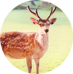 Sika Deer by AnniverseStash