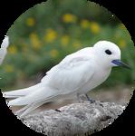 White Tern by AnniverseStash