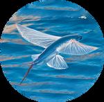 California Flying Fish by AnniverseStash