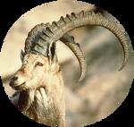 Pyrenean Ibex (Capra Pyrenaica Pyrenaica) by AnniverseStash