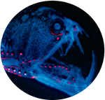 Deep Sea Dragonfish by AnniverseStash
