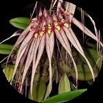 Bulbophyllum Longissimum by AnniverseStash